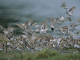 A Flock of Western Sandpipers Photographic Print by Joel Sartore