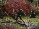 Captive Lowland Gorillas (Gorilla Gorilla) Photographic Print by Michael Nichols