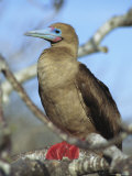 A Portrait of a Red-Footed Booby on a Tree Branch Photographic Print by Tim Laman