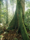A Dipterocarp Tree in the Pristine Rain Forest of Borneo Photographic Print by Tim Laman