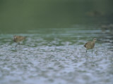 Western Sandpipers Photographic Print by Joel Sartore