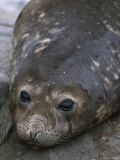 A Close View of a Young Elephant Seal Photographic Print by Gordon Wiltsie