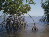 Root Legs of Red Mangroves Extend into Biscayne Bay Impressão fotográfica por Medford Taylor