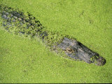 An American Alligator Glides Through Duckweed-Covered Waters Impressão fotográfica por Medford Taylor