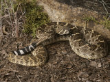 Close View of a Western Diamondback Rattlesnake Photographic Print by Bates Littlehales