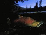 Salmon, Clayoquot Sound, Vancouver Island Fotoprint van Joel Sartore