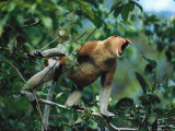 A Male Proboscis Monkey Verbally Threatens a Potential Rival Photographic Print by Tim Laman