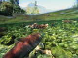 Salmon Underwater, Clayoquot Sound, Vancouver Island Fotoprint van Joel Sartore
