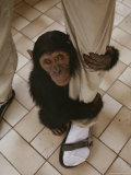 An Orphaned Chimp Finds Comfort Clinging to a Human Caretaker Photographic Print by Michael Nichols