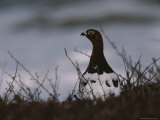 A Willow Ptarmigan (Lagopus Lagopus) Guards its Territory Photographic Print by George F. Mobley