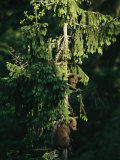 Brown Bear Cubs in Tree, Bayerischer Wald National Park, Germany Photographic Print by Norbert Rosing