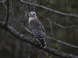 A Red-Shouldered Hawk Sits on a Tree Branch Stampa fotografica di Littlehales, Bates