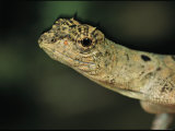 Close View of Draco Lizard Photographic Print by Tim Laman