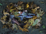 Salmon Carcass, Clayoquot Sound, Vancouver Island Photographic Print by Joel Sartore