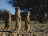 Three Meerkats with Paws Poised Neatly in Front of Their Stomachs Photographic Print by Mattias Klum