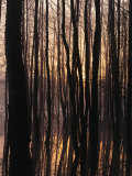 Trees Silhouetted, Twilight, Muritz National Park, Germany Photographic Print by Norbert Rosing