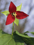 A Trillium Flower Blooming in the Great Smoky Mountains Photographic Print by George F. Mobley