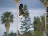 An Osprey in Flight with a Catch in its Talons Photographie par Roy Toft