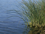 Reeds Along the Shore of Black Hill Lake, Black Hill Regional Park Photographic Print by Brian Gordon Green