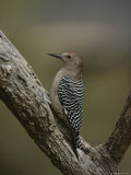 View of a Gila Woodpecker on a Tree Trunk Photographic Print by Bates Littlehales