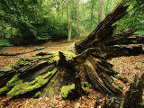 Woodland View with Moss on Dead Tree, Muritz National Park, Germany Photographic Print by Norbert Rosing