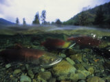Salmon Underwater, Clayoquot Sound, Vancouver Island Photographic Print by Joel Sartore