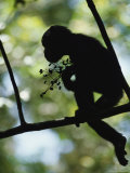 A Silhouette of a Chimpanzee Sitting in a Tree Photographic Print by Michael Nichols