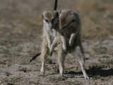 Two Mating Meerkats (Suricata Suricatta) Photographic Print by Mattias Klum