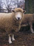 A Portrait of a Romney Sheep Photographie par Medford Taylor