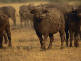 A Herd of African Buffalo Photographic Print