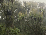 A Silverback Gorilla in a Moss-Covered Tree in the Rwanda Rain Forest Photographic Print by Michael Nichols