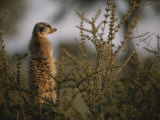 A Meerkat (Suricata Suricatta) Stands Alert, Wary of Any Predators Photographie