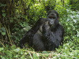 A Portrait of a Mountain Gorilla in the Forest of Zaire Photographic Print by Tim Laman