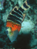 Red-Banded Wrasse Photographic Print by Tim Laman