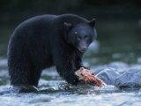 Black Bear with Salmon Carcass Photographic Print by Joel Sartore