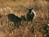 Female Duiker and Fawn Photographic Print by Medford Taylor