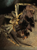A Huntsman Spider Catches and Devours a Praying Mantis Photographic Print by Tim Laman