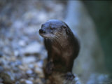 Close View of a River Otter Photographic Print by Joel Sartore