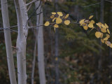 Golden Aspen Leaves Adorn a Branch in This Autumn Woodland View Photographic Print
