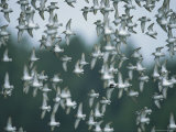A Flock of Western Sandpipers in Flight Photographic Print by Joel Sartore