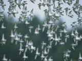 A Flock of Western Sandpipers in Flight Lámina fotográfica por Sartore, Joel