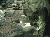 Captive Snow Leopard (Panthera Uncia) Photographic Print by Michael Nichols