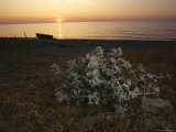 View of Wildflowers on Shore at Sunset Photographic Print by Mattias Klum