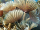 A Close View of Tubeworms with Their Food-Filtering Tentacles Waving Photographic Print by Raul Touzon