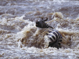A Zebra Struggles against the Fast Moving Current of a River Photographic Print by Norbert Rosing
