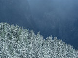 Snow-Covered Fir Trees, Berchtesgaden National Park, Germany Photographic Print by Norbert Rosing