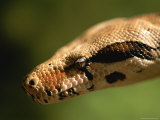 A Close View of a Red-Tailed Boa Constrictor Photographic Print