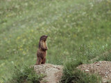 Marmot Standing on Rock Photographic Print by Norbert Rosing