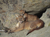 A Mother Mountain Lion and Her Cub Rest at the Entrance to a Cave Photographic Print by Norbert Rosing