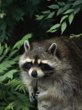 A Captive Raccoon Relaxes on a Rock Surrounded by Lush Foliage Photographic Print by Norbert Rosing